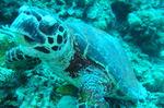 2010 tokashiki turtle.JPG